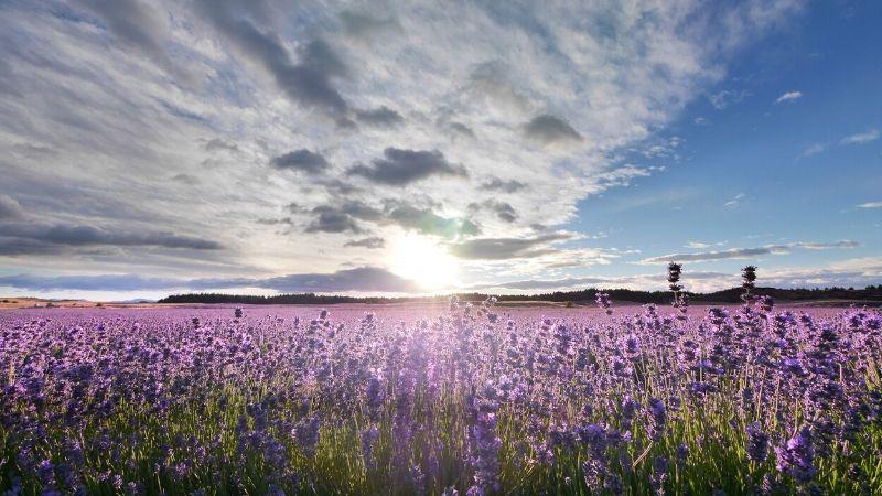 lavender farm wanaka new zealand